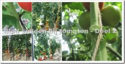 Tomaten telen : waarom, hoe en wanneer blad snijden? - deel 2