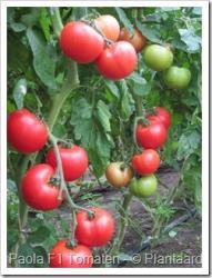 Tomatenrassen : Paola, een waardige vervanger van Cristal (en van Pyros zo u wil)