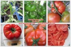 Tomaten : Virgilio F1 is een nieuw ras met unieke eigenschappen.