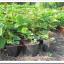 Aardbeien in de groentetuin : verzorging van de de junidragers na de oogst en van de doordragers
