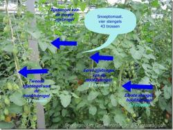 Iedereen kan dit : met één snoeptomatenplant: 43 trossen, 860 vruchten!