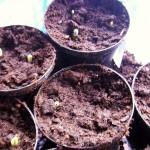 19 maart ** De pas gekiemde plantjes moeten onmiddelijk zo licht mogelijk geplaatst worden