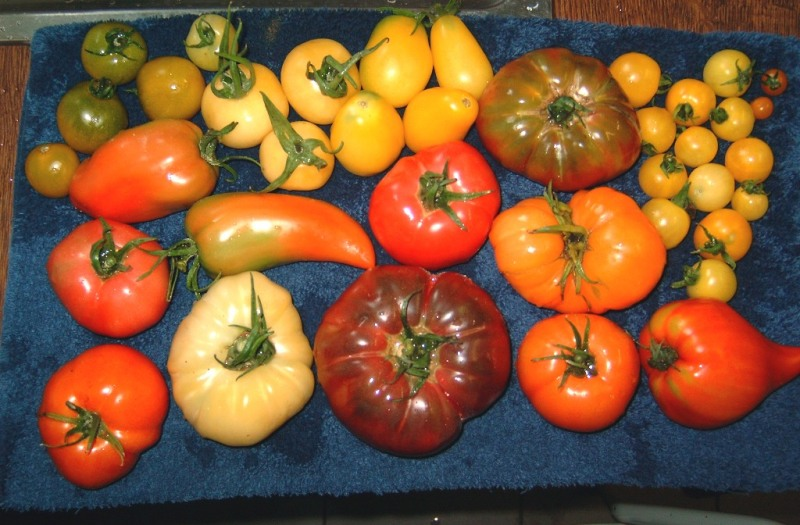 tomatenrassen